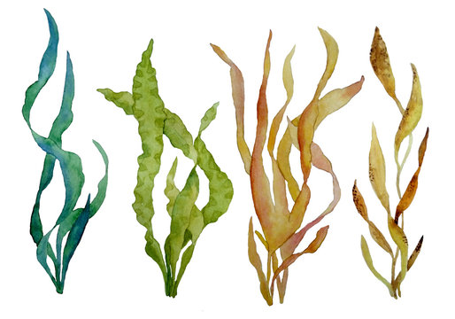 watercolor hand drawn illustration set with green and brown water seaweed algae marine environment for cosmetics super food labels design packaging kelp laminaria spirulina healthy organic eating
