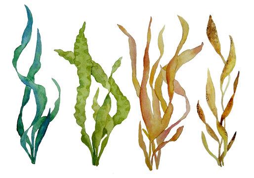 watercolor hand drawn illustration set with green and brown water seaweed algae marine environment for cosmetics super food labels design packaging kelp laminaria spirulina healthy organic eating