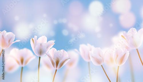 weiße tulpen blauer himmel