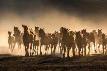 Obraz Free horses, left to nature at sunset. Cappadocia, Turkey - fototapety do salonu