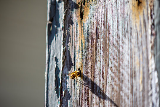 Mason Bee Investigating a Nail Hole in Weathered Wood