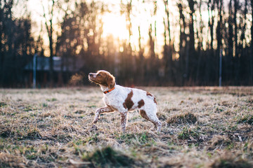 Fototapeta Brittany (dog) name Belka obraz