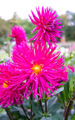 Plants / Flowers: Beautiful pink cactus dahlia blossoms