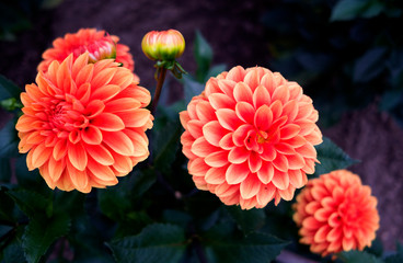 Plants / Flowers: Beautiful waterlily dahlia blossoms