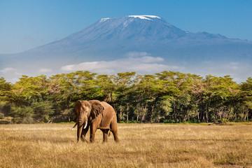 Foto op Canvas Olifant Elephant and Kilimanjaro
