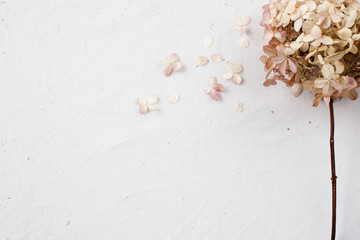 Beige floral flatlay on white background. Hydrangea, hortesia dried flowers top view. Pastel,...