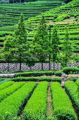 Teeanbau in Hangzhou auf Terrassenfelder in China