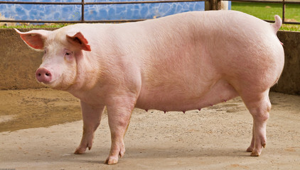 matriz  suina porco agro