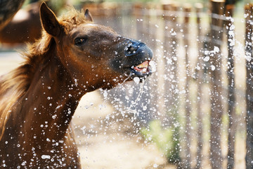 Foto op Canvas Paarden Young brown horse close up shows foal playing in water making funny face.