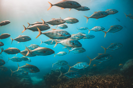 Schooling pelagic fish in clear blue water