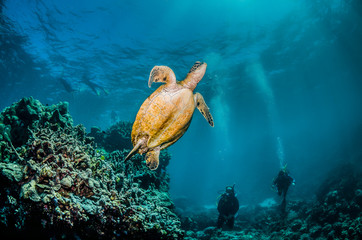 Green sea turtle swimming in the wild among colorful coral reef  Wall mural