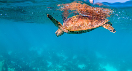 Turtle Swimming in the Wild Among Colorful Coral Reef Wall mural