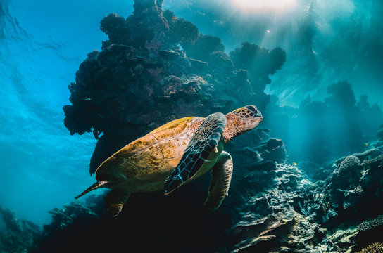 Green sea turtle swimming in the wild among beautiful coral reef