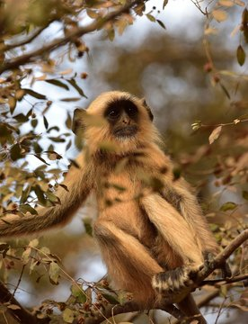 Matriarch Long tailed Monkey