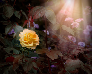 Wall Mural - Blooming yellow rose flower in fabulous mystical garden, mysterious fairy tale spring or summer floral background with sun light beam and rays, fantasy amazing nature dreamy landscape toned in low key