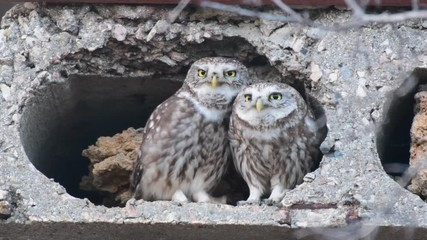 Fototapete - Two Owls are cooing at the burrow. Little owl (Athene noctua) Singing birds