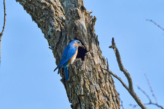 Male Eastern Bluebird (Sialia sialis) perched on edge on nesting hole in Texas