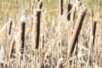 cattail in nature area