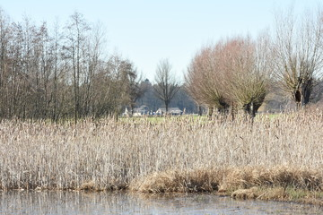 willows and reed near a pond in the nature area Witte Brink in the Achterhoek region