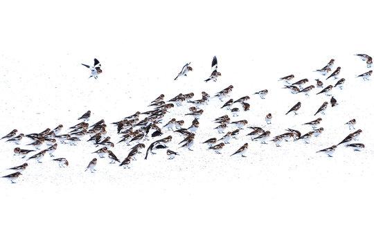Flock of Snow Bunting (Plectrophenax nivalis)