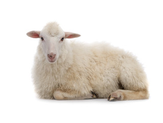 Foto op Aluminium Schapen Lying sheep isolated on a white background.