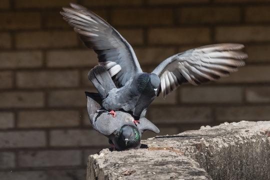 Pair of Rock Dove mating