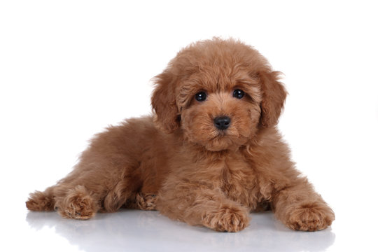 Cute little poodle puppy on a white background