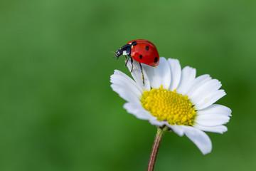 Fototapeta ladybug on daisy obraz