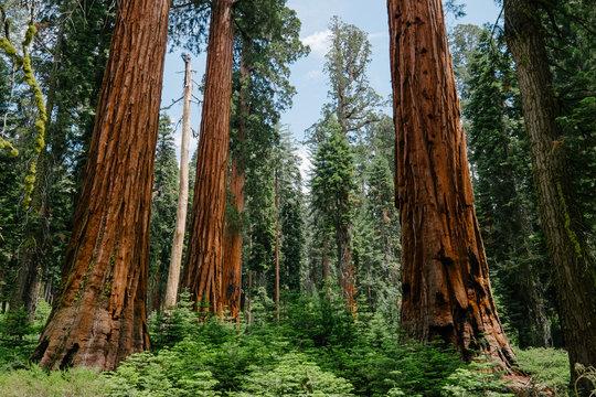 sequoia forest in yosemite