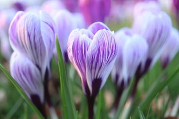 Foto op Canvas Krokussen purple and white crocuses in a field