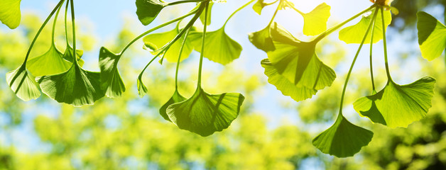 Spring branch with green leaves of Ginkgo Biloba. Nature background.