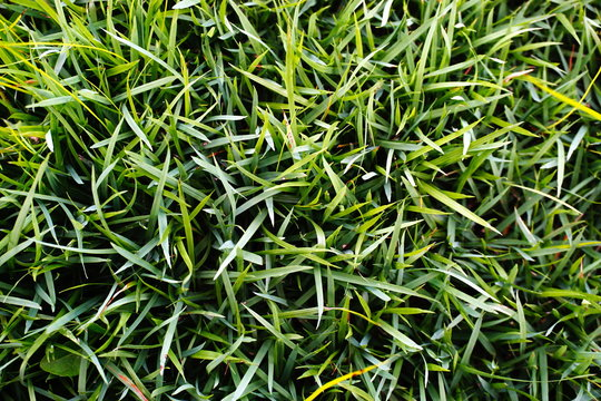 Green grass  Japanese grass (Zoysia japonica).  Green grass texture for background.