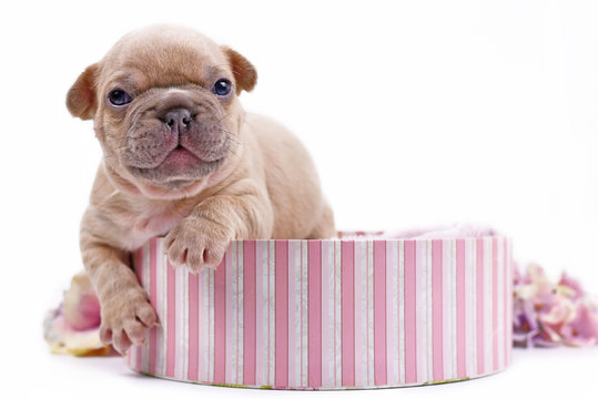 Cute small cream lilac fawn colored 3 weeks old French Bulldog dog puppy with blue eyes climbing out of pink box on white background