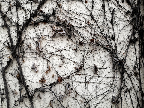 Dry branches of the plant wrap around an old, dirty wall. Background. Pattern. Texture of tree. Withered vine. Dry leaves and berries.