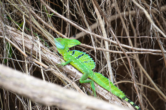 A male green basilisk (aka Jesus Christ lizard) resting on top of a branch