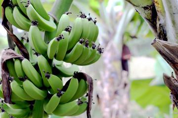 Poster Palm tree palmeira de banana com frutas.