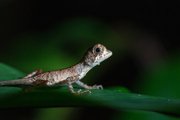 Foto auf Leinwand Chamaleon Kangaroo lizard Sri Lanka