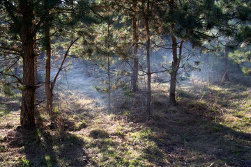 Keuken foto achterwand Bos in mist Smoke from a campfire or fog swells under young pine trees on the grass in the forest. Landscape.