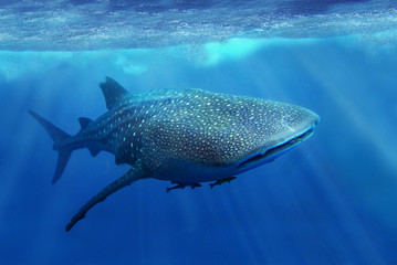 whale shark in the sea of philippines