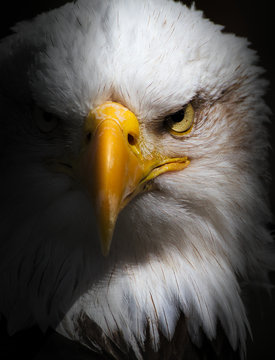 Front On Head Shot Of A Bald Eagle, Haliaeetus leucocephalus, Staring With Menace, Threat  At The Camera Isolated On A Black Background