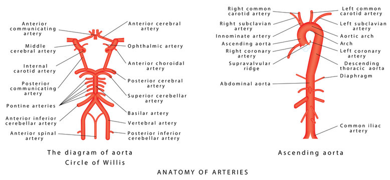 Anatomy of arteries. The diagram of aorta. Internal carotid, Vertebrobasilar systems and circle of Willis. Abdominal Vascular Anatomy. Abdominal Vasculature. Structure of the Aorta and its branches