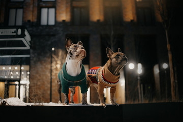 two french bulldog dogs posing outdoors in winter
