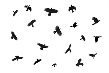 The crow is flying separately on a white background. Clipping path Fotomurales