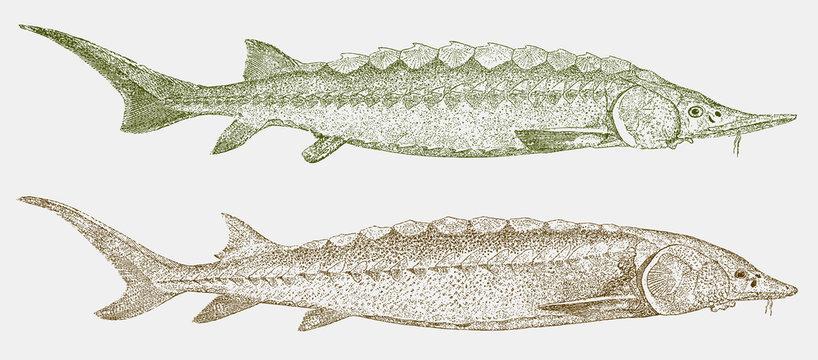 Critically endangered European sea sturgeon, acipenser sturio and threatened shortnose sturgeon, acipenser brevirostrum in side view