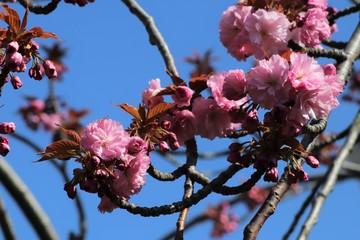 Papiers peints Fleur de cerisier Fleurs roses de cerisier du japon ou de cerisier fleur au printemps - Ville de Corbas - Département du Rhône - France