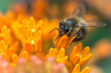 Obraz Pszczoła na kwiecie - fototapety do salonu