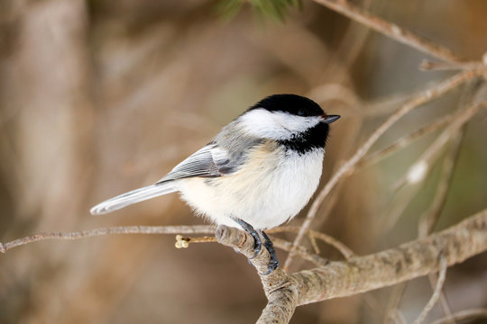 A black-capped-chickadee perched on a branch in Maine