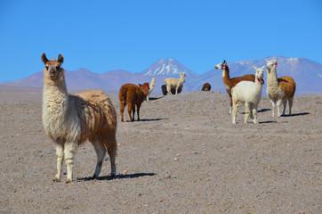 Aluminium Prints Lama Stado lam na pustyni Atakama w Chile