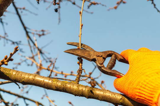 Gardener cuts branches in spring by secateurs in the garden