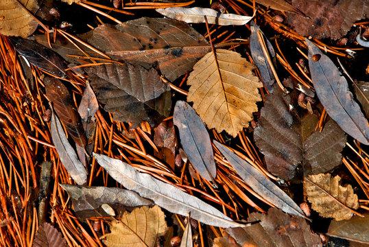 Leaf litter abstract.  Fallen hazelnut, pine needles and willow form detritus mat, Silver Creek, California